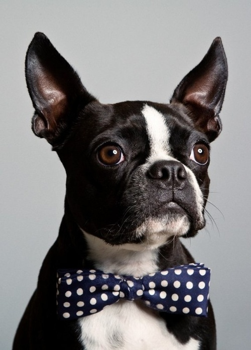 Boston Terrier with a bowtie
