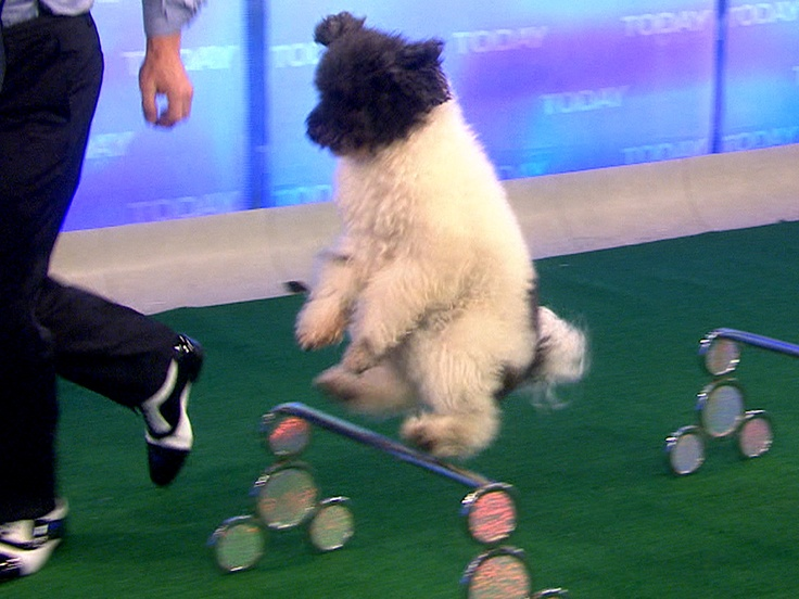 Top dogs! Olate Dogs are 'AGT' winners