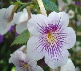 Growing Tips for Achimenes  http://makinbacon.hubpages.com/hub/achimenestipsplantinggrowingbulbs