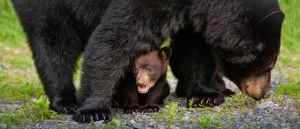 How to Keep the Black Bears Away from Your Cabin in Gatlinburg or Pigeon Forge http://www.amazingviewscabinrentals.com/black-bears-at-cabins-in-gatlinburg-and-pigeon-forge/