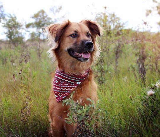 Pup Doggy Dog Dogs Golden Retriever Mix Retriever Mix