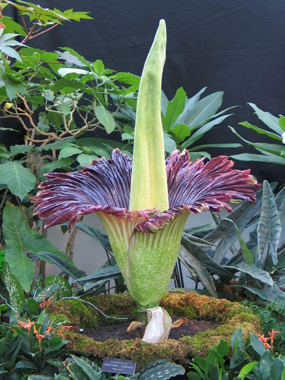 Titanenwurz amorphophallus  United States Botanic Garden