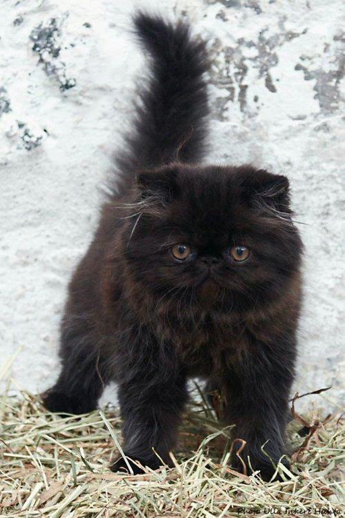 Fluffy Black Kitten | Cats | Pinterest