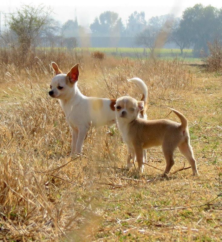 De paseo con mis #Chihuahuas #Blanco By @D' perros y mascotas