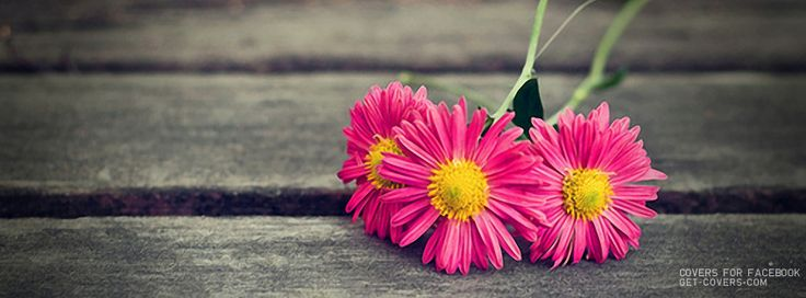Pink Daisies - Facebook Covers | Facebook Profile Covers