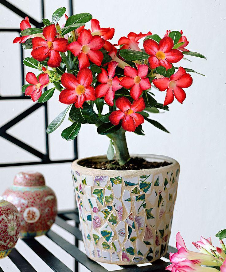 Desert Rose | Specials from Bakker Spalding Garden Company