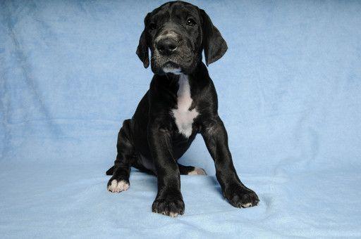 Litter of 9 Great Dane puppies for sale in DUARTE, CA. ADN-66096 on PuppyFinder.com Gender: Male. Age: 6 Weeks Old #greatdanepuppy