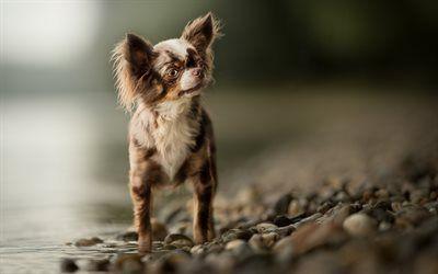Descargar fondos de pantalla Chihuahua, perros pequeños, simpáticos animales, mascotas, perros, Lago, orilla libre. Imágenes fondos de descarga gratuita
