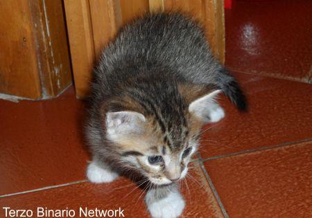 FAUGLIA (PISA): SMARRITO CUCCIOLO DI GATTO GRIGIO TIGRATO http://www.terzobinarionetwork.com/2015/10/fauglia-pisa-smarrito-cucciolo-di-gatto.html