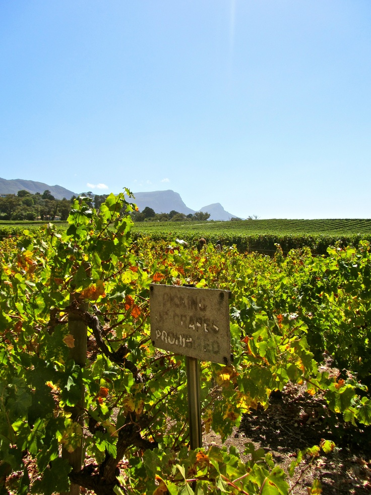 """""""Picking Of Grapes Prohibited."""" Groot Constantia Vineyards, Cape Town, South Africa."""