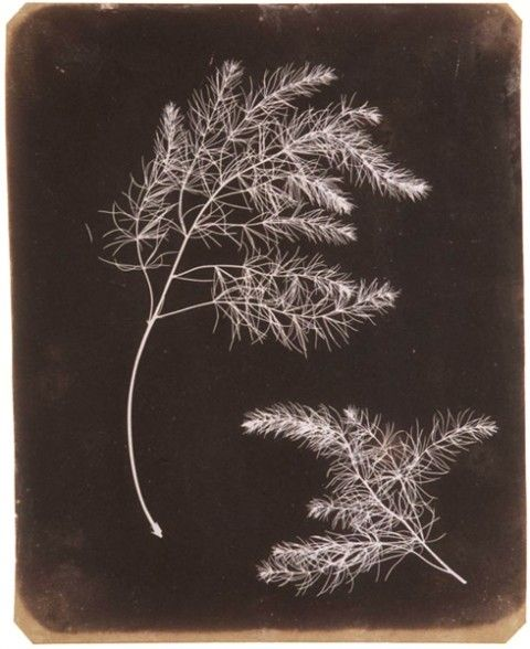 William Henry Fox TALBOT - Asparagus Foliage, early 1840s