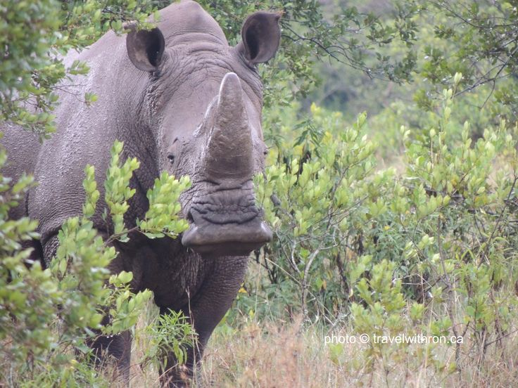 The White Rhinoceros (or square-lipped rhinoceros) is the largest and most numerous species of rhinoceros.  This big guy is trying to hide behind this small bush.  travelwithron.ca