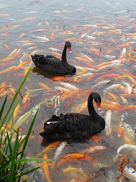 black swans with koi