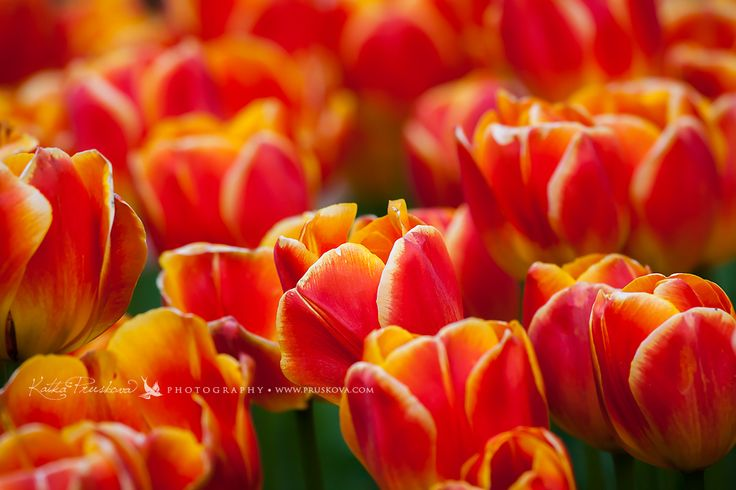 Amazing red tulips, Holland,  Katka Pruskova Photography   www.pruskova.com