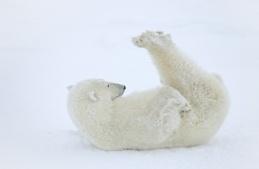 Today is International Polar Bear Day!