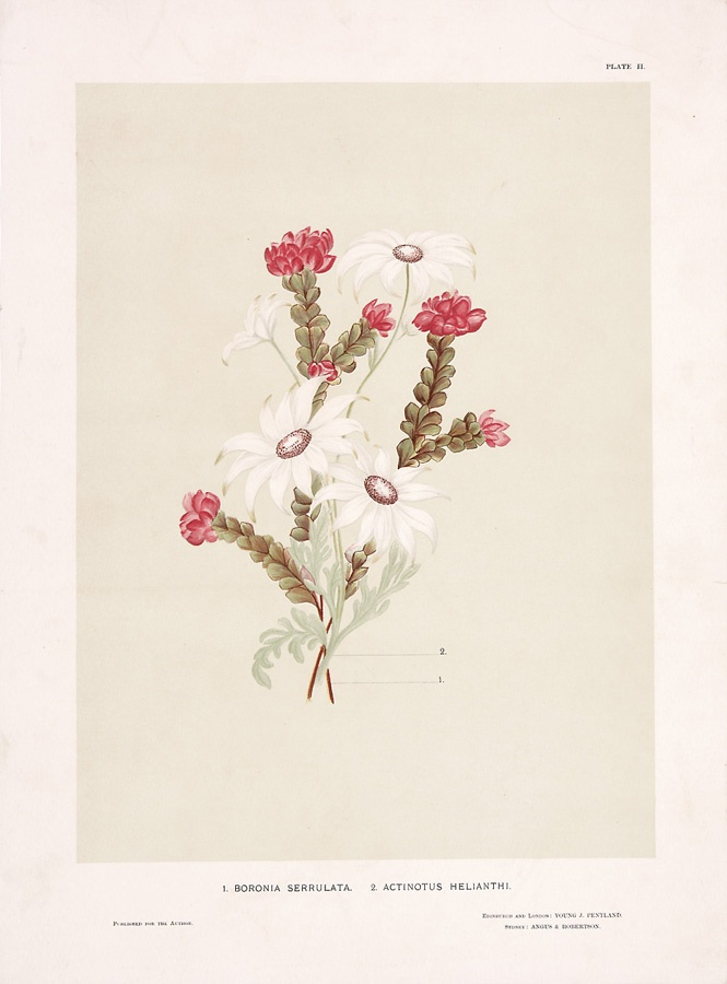 Plate II: 1. Boronia serrulata 2. Actinotus helianthi; from: William Bauerlen and Gertrude Lovegrove, The wild flowers of New South Wales Part I,  Angus & Robertson, Sydney, 1891. Meroogal collection, Historic Houses Trust [M86/1807]. Photograph Jenni Carter.