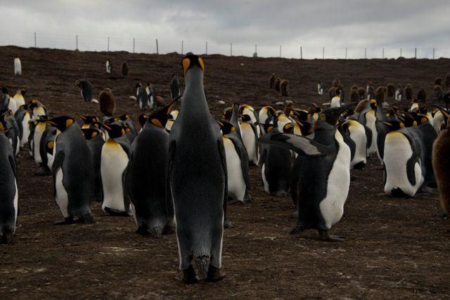 Uno de los destinos turísticos más importantes de las Falklands es Sea Lion, una isla que se ubica a 40 minutos de vuelo desde la capital, Stanley. Allí hay una reserva natural de diferentes tipos de pingüinos y elefantes marinos, el motivo principal por el que los visitantes eligen llegar. Otra de las atracciones es Volunteer Point, una reserva de pingüinos rey, adonde solo se llega atravesando campos en varias horas de camioneta.