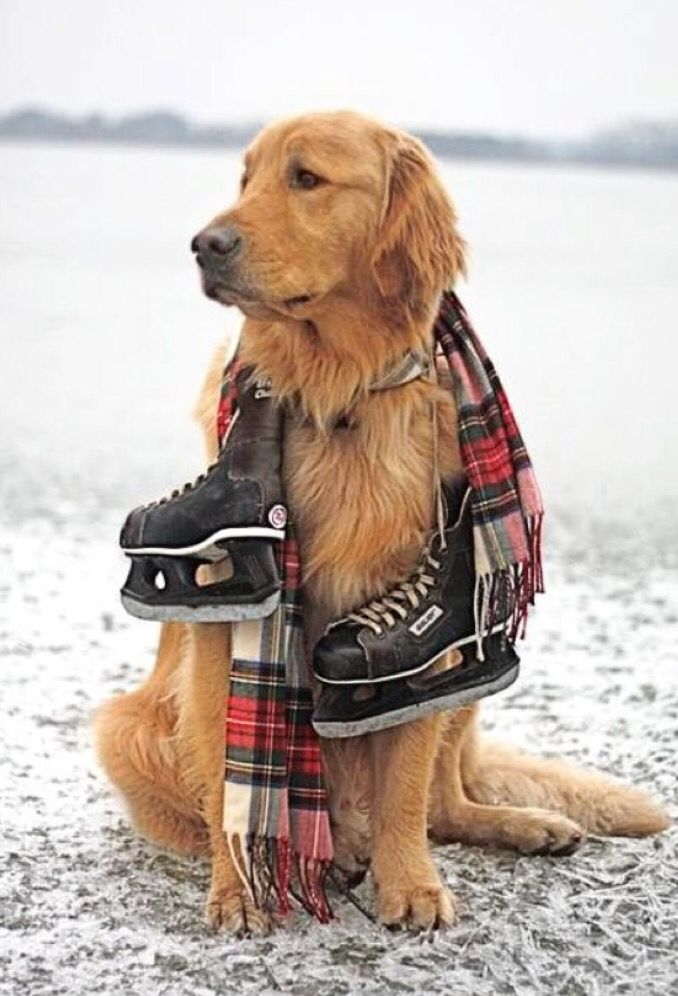 Golden Retriever Wearing Shoes