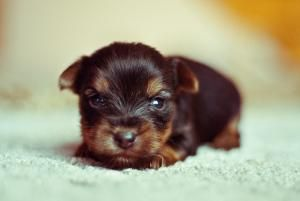 How Do Puppies Develop from Birth to 12 Weeks?: This Yorkshire Terrier puppy goes through several development stages to reach adulthood.