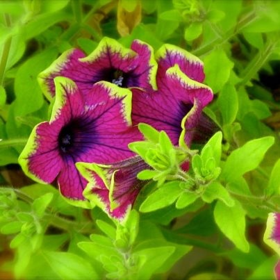 I really like these new petunias.