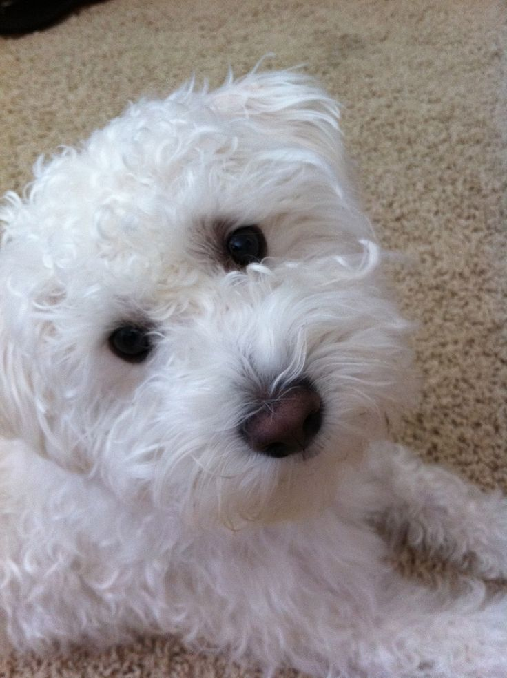 Schnoodle Animals Pinterest I Am Twin And I Want