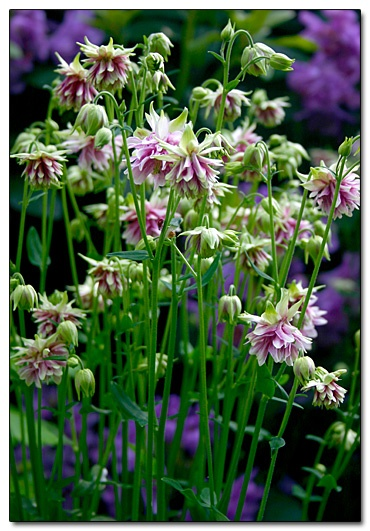 Shade Garden Ideas shade garden ideas sweet woodruff Find This Pin And More On Shade Gardens