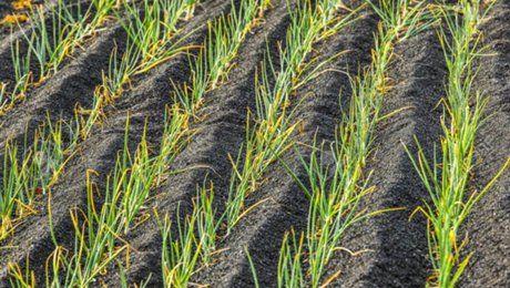 Полив лука нашатырным спиртом — польза или вред растению?