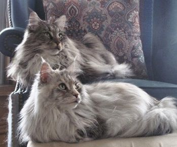 Silver Maine Coon - www.mainedelitecattery.com