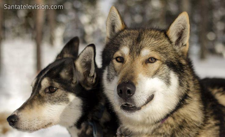 Bild: Huskies in Lappland in Finnland