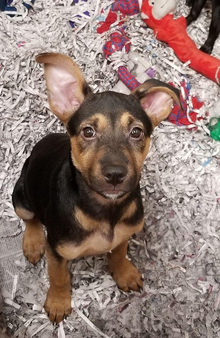 Adopt Luna on Petfinder Nyc dogs, Dogs, German shepherd dogs