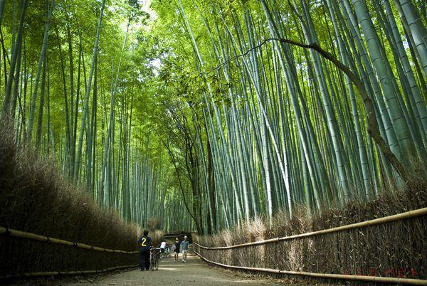 Bamboo trees in Arashiyama, Kyoto, JapanFavorite Places, National Geographic, Beautiful Trees, Arashiyama Bamboo, Bamboo Forests, Google Search, Bamboo Trees, Kyoto Japan, Bamboo Arashiyama