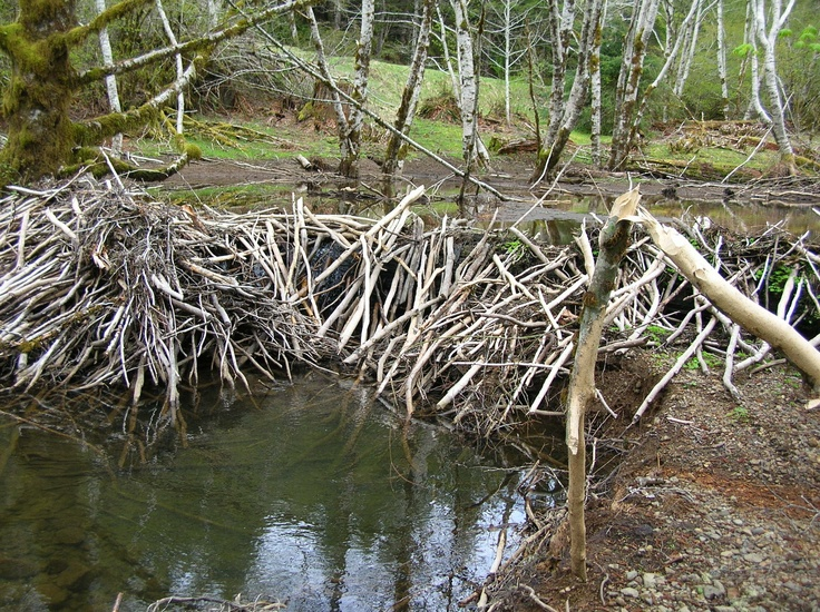 Inside a beavers dam - photo#42