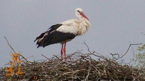 Der Storch ist dem Horst treu