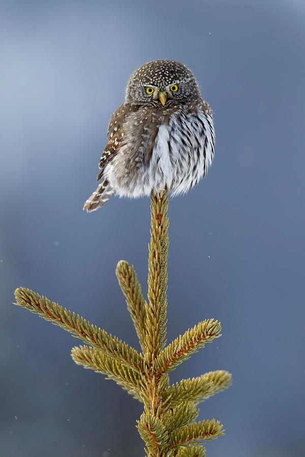 cute... Mountain Pygmy-owl (Glaucidium Gnoma)  Northwestern Montana | photography: Donald M. Jones