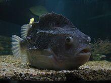 """Rognkjeks, Rognkall, Rognkjølse, Cyclopterus lumpus. Ulkefisk. Kjeksa opptil 63 cm og 5,5 kg, kallen noe mindre. Hunnen gyter i klumper som festes på steiner på grunt vann; flere hunner gyter samme sted og en samlet klump kan inneholde 300 000 egg. Kallen vokter i 60 dager til eggene klekkes. I Norge brukes selve fisken kun til revefor og agn, men det drives fiske for å skaffe rogn til kaviarproduksjon, """"limfjordkaviar"""". Rognkjeks er forsøkt brukt til å bekjempe lakselus."""