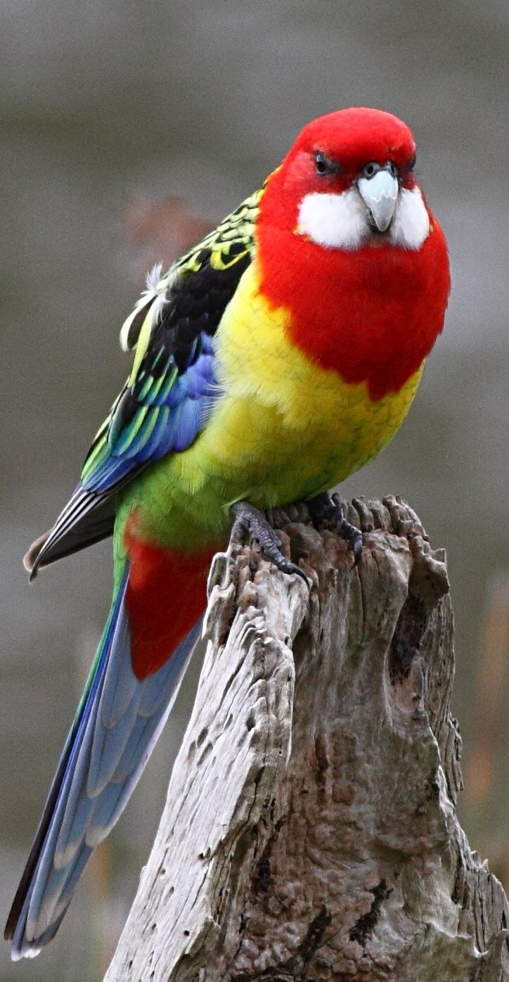 The Eastern Rosella can be found in the northern half of the North Island (north of Taupo), the Wellington region, and in the hills around Dunedin - NZ