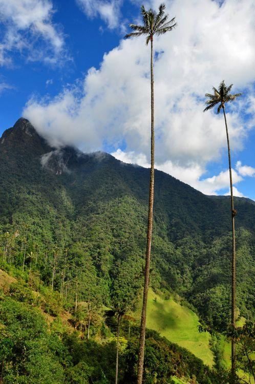Las enormes Palmas de Cera en el Valle de Cocora, Salento, Colombia