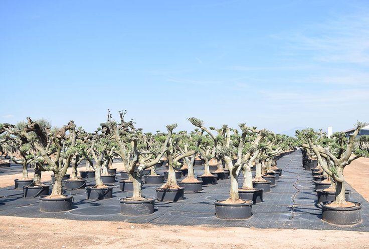 Olivos Arbequina Ornamentales 2