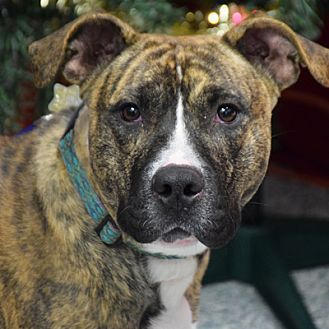 Huntley, IL - Boxer/American Staffordshire Terrier Mix. Meet Bowser, a dog for adoption. http://www.adoptapet.com/pet/19201747-huntley-illinois-boxer-mix
