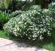 Image result for jasmine tree