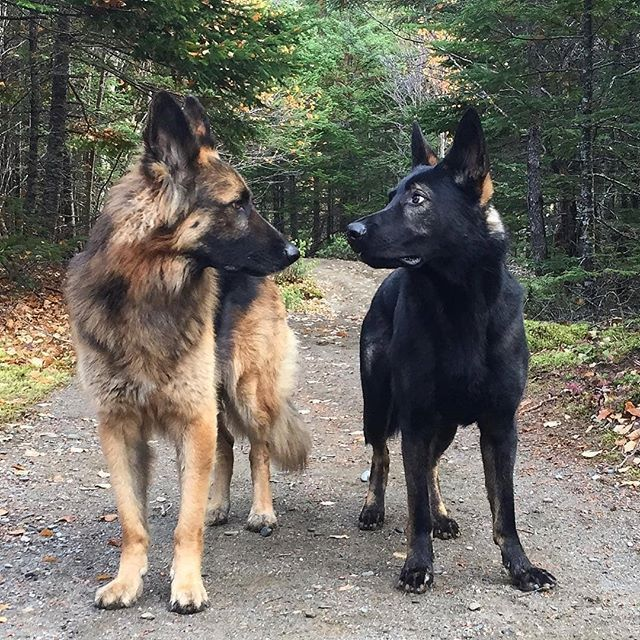 Best friends   @theshepherdbrothers  #germanshepherds #germanshepherdmemes #germanshepherdphotos #germanshepherddog