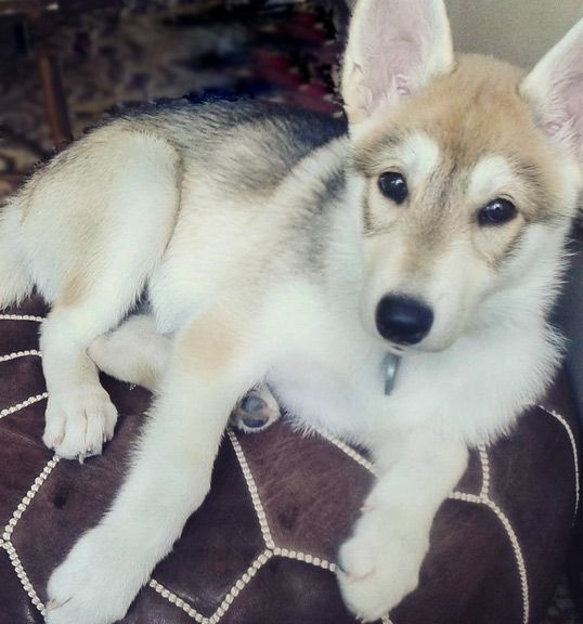 Tamaskan puppy - a Finnish breed related to the Northern Inuit- Jason needs him
