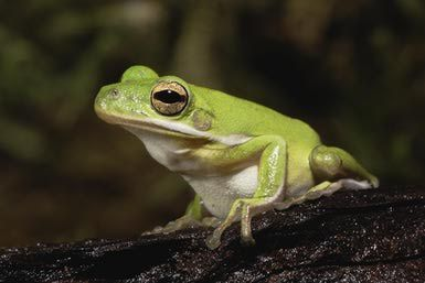 American Green Tree Frogs as Pets - Care & Feeding