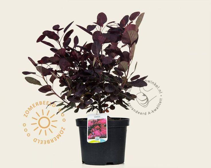 Cotinus coggygria 'Royal Purple' Pruikenboom