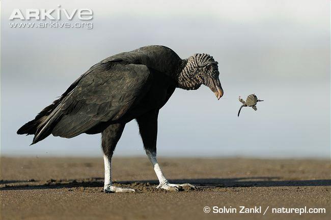 black vulture images - Google Search black vulture images - International Vulture Awareness Day, Saturday, Sept. 6, 2014