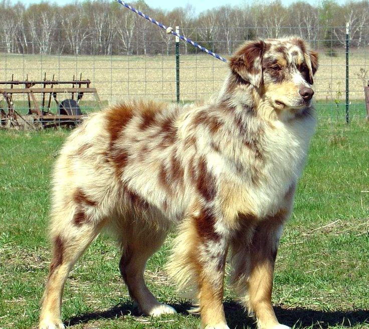 Red Merle Australian shepherd. So beautiful.