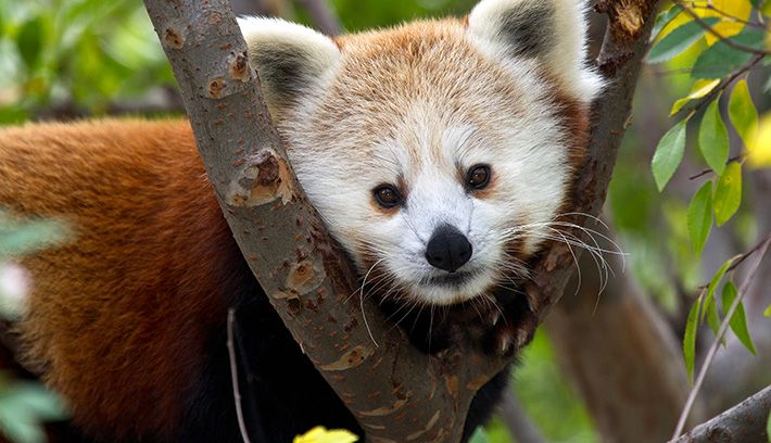 "The Chinese name for the red panda is hun-ho, meaning ""fire fox"