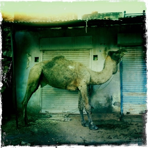 Camel - Photographed by Collette Dinnigan