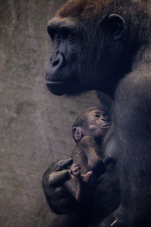 newborn baby gorilla and mother at Dublin Zoo in Ireland #animals #cute #wildlife