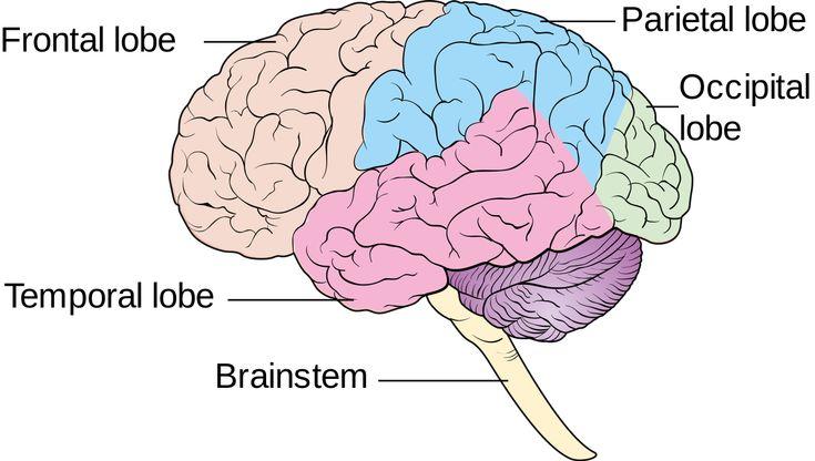 Free Brain Diagram, Download Free Clip Art, Free Clip Art ...